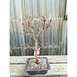 Bonsi Acer palmatum deshojo 12 aos ARCE maceta de plstico