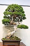 PLAT FIRM Germinacin de las semillas: 20 china Juniper -JUNIPERUS CHINENSIS- rbol Bonsai Semillas