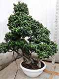 Bonsai Ficus Strong Tree Extra