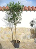 Olea Europaea - rbol de olivo (170 cm de alto)