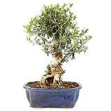 Bonsi, Olivo, Olea europaea sylvetris, 12 aos, altura 34 cm