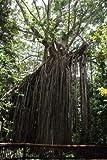 Ficus virens Hardy Banyan nicas del rbol de semillas exticas!