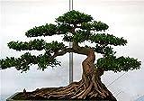20 PC / bolso semillas de pino negro semillas verdes rboles bonsai planta de Pinus thunbergii Parl para el jardn de plantas leosas perennes rectas 3