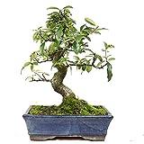 Espinos de Fuego, Pyracantha, bonsi para exterior, 15 aos, altura 26 cm