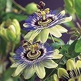 2x Passiflora Caerulea | Passiflore bleu...