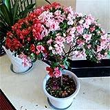 Bonsai Semillas azalea 200pcs 10kinds mezclan las semillas de flor de la planta Novel para el envo libre del jardn