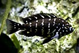 WorldwideTropicals Live Freshwater Aquarium Fish - 1.5' Tropheus Duboisi Fish Live Freshwater Fish - Live Tropical Fish - Great for Aquariums - Populate Your Fish Tank!