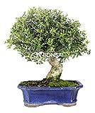 Bonsai - Acebuche, 16 Aos (Bonsai Sei - Olea Europaea Sylvestris)