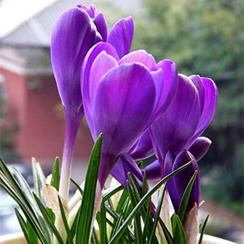 AGROBITS graines de crocus plantes en pot plantes de balcon de fleurs pour la maison & amp; jardin 10 graines/paquet: A8