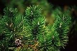 5 Semillas de pino de Navidad australiana D4508 (Pinus taza. Var. Nigra)