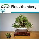 SAFLAX - Set regalo - Pino negro japons - 30 semillas - Con caja regalo/envo, etiqueta para envo, tarjeta de felicitacin y sustrato de cultivo y fertilizante - Pinus thunbergii