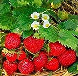 Beautytalk Jardin-100pcs graines de fraises rares grand mélange de fraises fruitées...