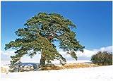 Pino silvestre, Pinus sylvestris, rbol 30 semillas (pino escocs)