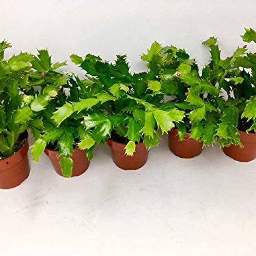 """JM Bamboo Christmas Cactus 4"""" Pot"""