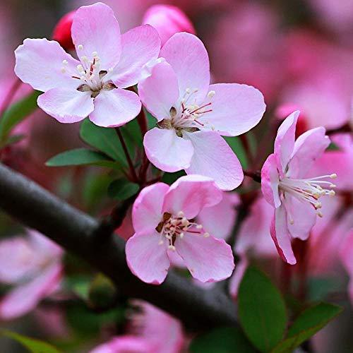 Begonias Malus Spectabilis Crabe-pomme Chaenomeles Spitfire graines 10+, coing à fleurs Japonica, graines d'arbres robustes, parfumées