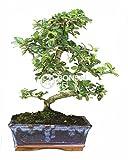 Bonsai - Carmona, 8 Aos (Bonsai Sei - Carmona Microphylla)