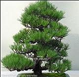Las semillas de Pinus Densiflora japonesa rbol de pino rojo en bruto de la corteza del tronco torcido Bonsai