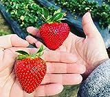 Kisshes Seedhouse - 100pcs Bio Rare fraisiers à récoltes échelonnées plante...