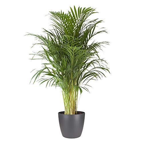 Plante d'intérieur de Botanicly – Palmiste multipliant en pot de fleur anthracite comme un ensemble – Hauteur: 125 cm – Areca dypsis lutescens