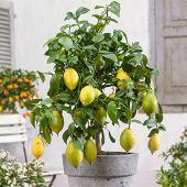 Citronnier avec fruits | Citrus Limon | Plante d'extérieur | Arbre fruitier | Hauteur 80-85cm | Pot Ø 22cm