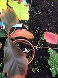 SANHOC Graines Paquet: RedSeed Lings 2 Ans, Moyen/Quercus