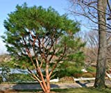Pino rojo japons, Pinus densiflora, semillas de rboles (Bonsai, Hardy Evergreen) 20