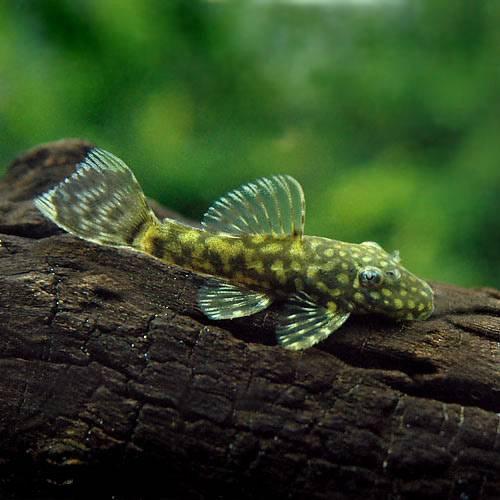 (熱帯魚)ミニブッシープレコ(4匹) 本州・四国限定[生体]