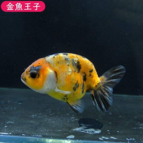 【金魚王子】江戸錦 (9センチ前後) 個体番号:vbn264 金魚 きんぎょ 生体 らんちゅう 厳選個体