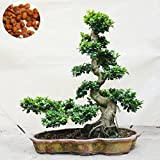 20 piezas de Bonsi extico Banyan Tree Oficina Semilla Semilla turstica Ficus Ginseng Ficus perenne Microcarpa El florecimiento de Tasa de 95%