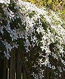 Aimado Seeds Garden-100 Pcs Clématite...