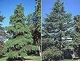 VISA STORE 5 Semillas de semillas Cedrus Deodara Hardy Deodar Cedar