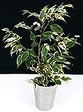 Ficus Benjamin - Maceta de cermica plateada, planta autntica