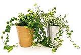 Fcus Pumila, Fius Repens verde y variado en maceta cermica oro y plata, 2 plantas V13, plantas autnticas