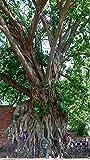 Portal Cool Ficus religiosa 20 semillas, Fig- Sagrado nico Bonsai