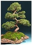 Tropica Bonsai enebro chino (Juniperus chinensis) - 30 semillas