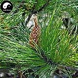 ASTONISH SEEDS: Comprar semillas de Pinus massoniana rbol 100 piezas de la planta Mason pino pinaster rbol de China