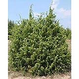 PLAT FIRM Germinacin de las semillas: 100 semillas: semillas del rbol del enebro comn, Juniperus communis