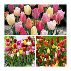 Humphreys Garden Triumph Tulip Tulipano Mixed x 50 Bulbs bulbi da fiore