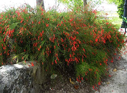 Sandys Nursery Online Firecracker Red Russelia Equisetiformis, Fountainbush, Gallon Pot