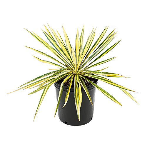 American Plant Exchange Vareigated Yucca Filimintosa Color Guard Live Plant, 3 Gallon, Show Stopping Specimen