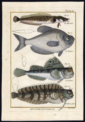 Antique Fish Print-ROCKLING-NURSERYFISH-LAWNMOWER-BLENNY-Bonnaterre-1788