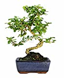 Bonsai - Carmona, 6 Aos (Bonsai Sei - Carmona)
