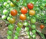 seedsown Semillas de Arizona Ciprs (Cupressus arizonica) + 50 Semillas