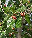 10 Semillas Ficus Benghalensis la India Banyan figura rbol frutal figura Bonsai