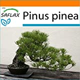 SAFLAX - Garden in the Bag - Pinos pioneros - 6 semillas - Con sustrato de cultivo en un sacchetto rigido fcil de manejar. - Pinus pinea