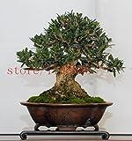 rboles bonsai de olivo Bonsai 10PCS (Olea europaea), Semillas Bonsai Mini Olivo, Oliva Bonsai Las semillas frescas de rboles exticos