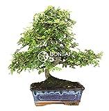 Bonsai - Olmo chino, 8 Aos (Bonsai Sei - Zelkova Parvifolia)