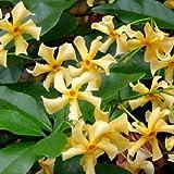 Jazmín estrellado 'Star of Toscane' (amarillo) - Jazmín de leche (planta...