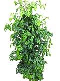 Planta de interior - Planta para la casa o la oficina - Ficus benjamina - Higuera llorona verde - 1,5 metros
