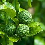 学名:Citrus hystrix 英名:kaffir lime、Makrud lime 別名:シトラス・ヒストリックス、カフィア・ライム 和名:コブミカン 分類:ミカン科ミカン属、常緑小高木 原産地:東南アジア 自家結実性:1本で結実します 樹高:2~6m コブミカンの葉は東南アジア料理には欠かせないハーブとして用いられているみかんの葉でタイではバイマックルーと呼ばれ、木にはちゃんとみかんも成ります。 名前の由来にもなっているように、木になるみかんは表面がごつごつしたこぶだらけの日本でもある獅...